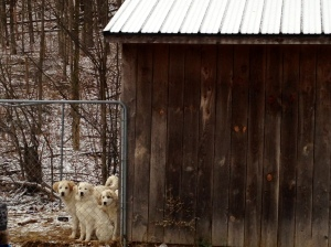 Great Pyrenees puppies in training to guard the 300 chickens